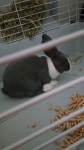 Lapin Oreo - Femelle (6 mois)