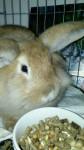 Lapin Candy - Femelle (Vient de naître)