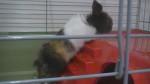Lapin Calypso - Mâle (1 mois)
