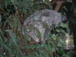 Lapin un koala -  (Vient de naître)