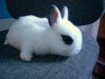 Lapin Maky - Femelle (2 mois)