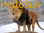 Lion Lion - Mâle (7 ans)