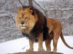 Lion slua - Mâle (8 ans)