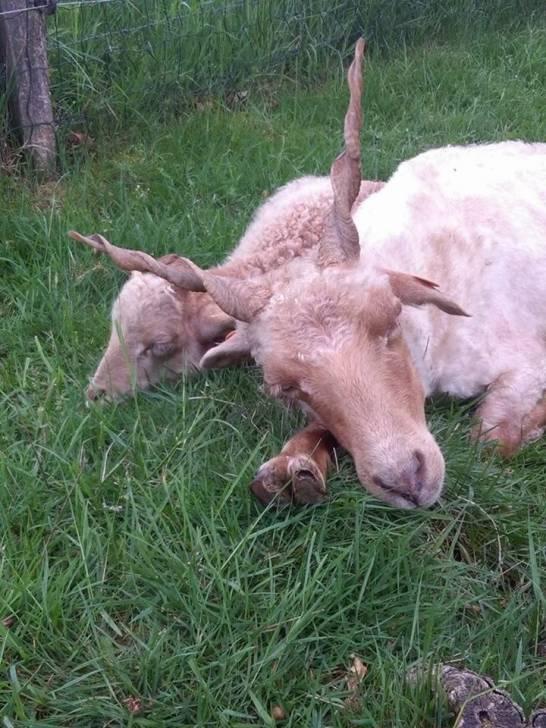 Racka et son petit - Mouton (2 ans)