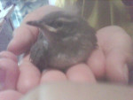Oiseau Benjamin -  (Vient de naître)