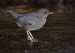 Oiseau Tawny -  (Vient de naître)