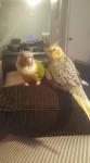 Oiseau Tiki (left) & Cyrus (right) - Mâle (Vient de naître)