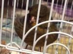 Oiseau Cooper - Femelle (10 mois)