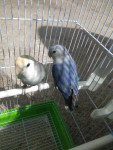 Oiseau Oreo y Milka -  (Vient de naître)