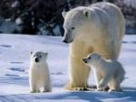 Ours famille d\'ours blanc - Femelle (Vient de naître)