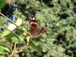 Papillon Vanessa Atalanta -  (0 mois)