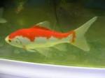 Poisson Nemo - Mâle (Vient de naître)