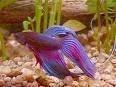 Poisson Mewtow (dsl c\'est pas un chien mais un poisson lo - Mâle (3 mois)