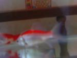 Poisson Smosie - Femelle (7 mois)