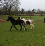 Poney Zee zee and Timber -  (0 mois)