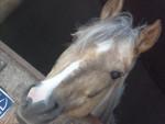 Poney Quelle - Femelle (14 ans)