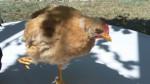 Poulet Nick - Mâle (8 mois)