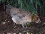 Poulet Beardy - Femelle (1 an)