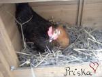 Poulet Priska - Femelle (11 mois)