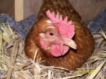 Poulet Cumquat - Femelle (2 ans)