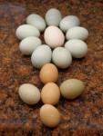 Poulet Eggs -  (0 mois)