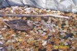Poulet Canella - Femelle (0 mois)