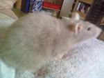 Schicka - Rat (1 an)