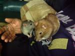 mimi et toux doux (tous deux decede) - Rat Mâle (3 ans)