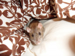Mayu - Rat (2 ans)