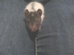 Guizmo - Rat Mâle (6 mois)