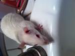 Kevin - Rat (4 ans)
