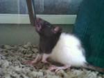 Vada - Rat (1 an)