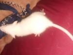 Lucifer - Rat Mâle