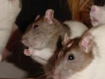 Krümel&Snowsy - Rat Mâle (4 mois)