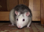 Razmo - Rat Mâle (1 an)