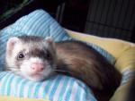 Salem - Rat Mâle (10 mois)