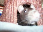 Rat Piebald - Femelle (3 ans)