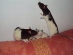 delice,metalica et flocon - Rat