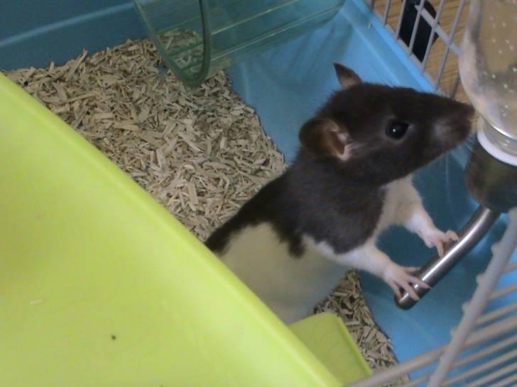 Cookie - Rat Mâle (4 mois)