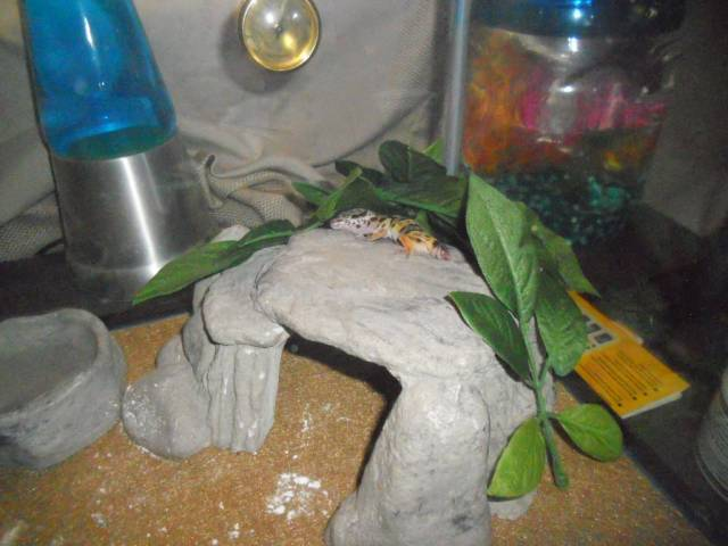 Nub - Serpent Mâle (3 mois)
