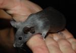 Mouse - Souris (8 mois)