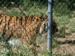 Sabastian - Tigre Mâle (2 ans)