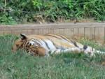 tigre - Tigre