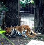Tigre Tigger -  (Vient de naître)