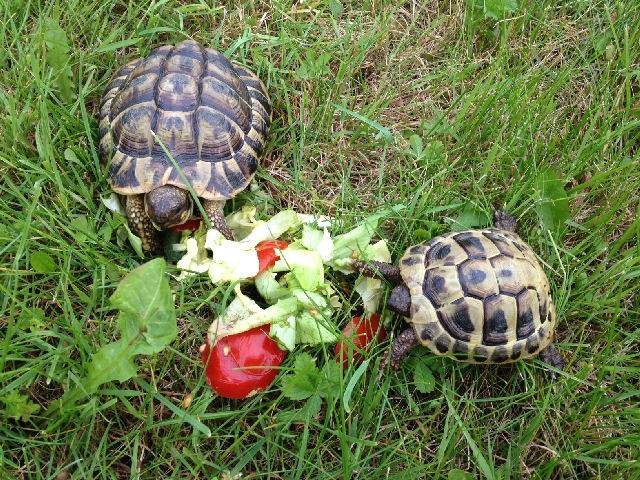 Mes tortues - Tortue (3 ans)
