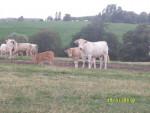 Vache Au pré ;) -  (Vient de naître)