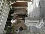 Vautour aigle - Femelle (0 mois)