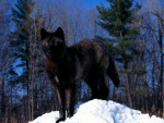 Black Wolf In Snow Pic - Mâle (3 ans)