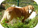 Chien Ulka (DCD) - Golden Retriever Femelle (10 ans)