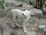 Loup loup -   (Vient de naître)